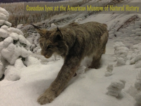 Canadian lynx at the American Museum of Natural History