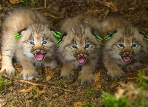 Lynx Pups